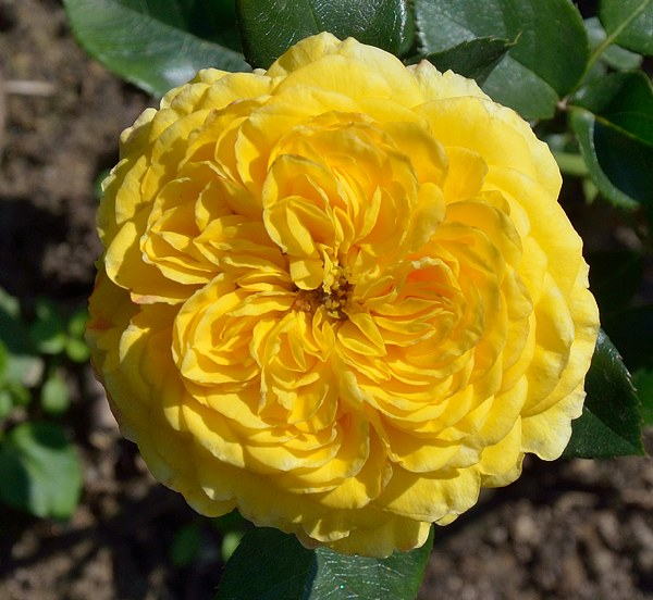 Inka роза фото