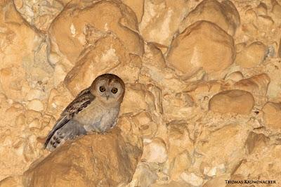 Desert Tawny Owl, Coruja marrom do deserto, Strix hadorami, strix, hadorami, birds, aves, passaros, coruja, coruja marrom, animais, animal