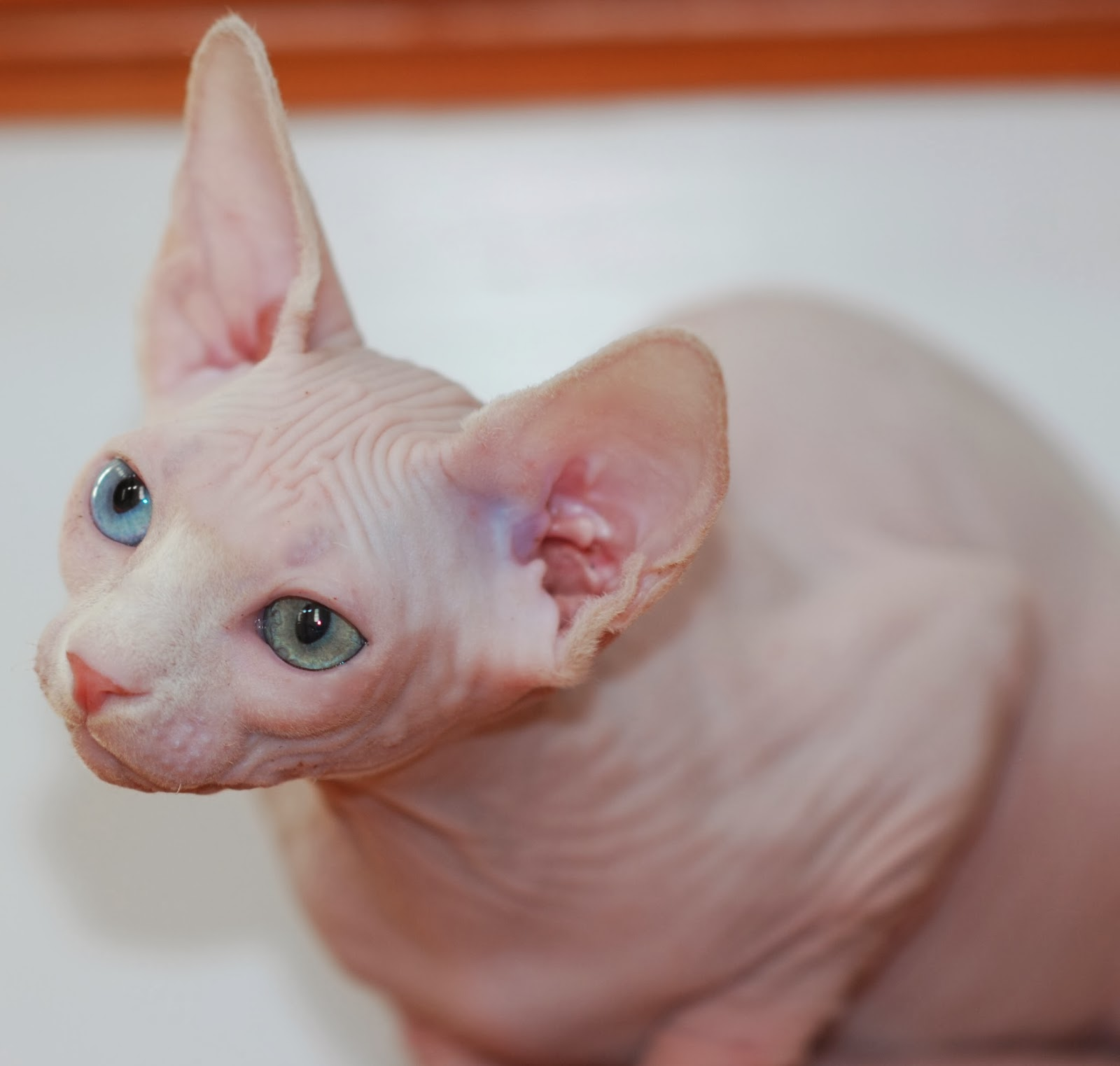 Sphynx kitten review