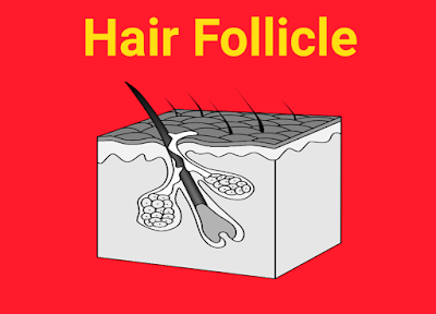 what is hair follicle