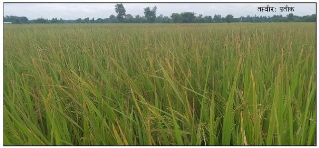 युरिया मलको अभावः डिएपी छर्दै किसानहरू