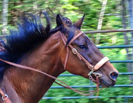 Hackamore or Bosal? And What's the Difference Anyway?