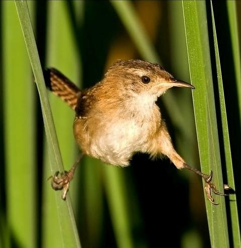 Picture of a marsh wren bird.