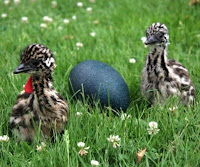 Baby Emus and Egg