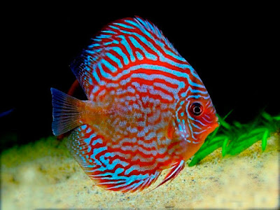 Harga Ikan Discus Red Turquoise