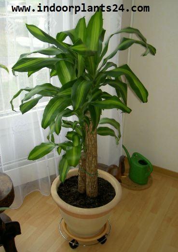 Dracaena Fragrans Massangeana Agavaceae