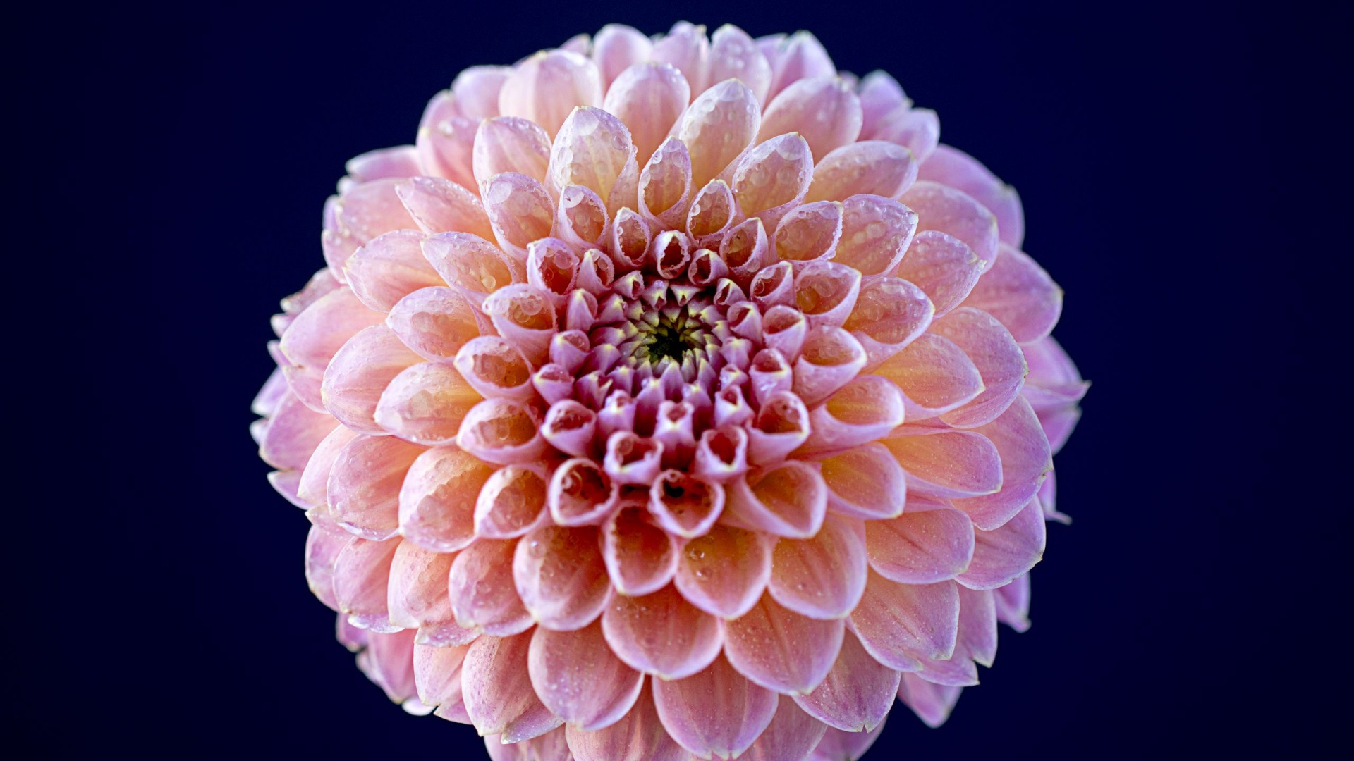 dahlia with water drops HD Wallpaper