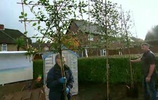 pleached hornbeam trees