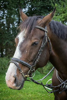A dark bay horse with a white blaze wearing a bridle.