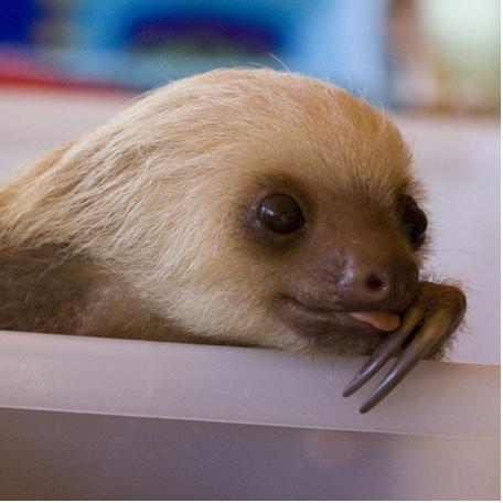 Out Sloth Sid Tongue 9