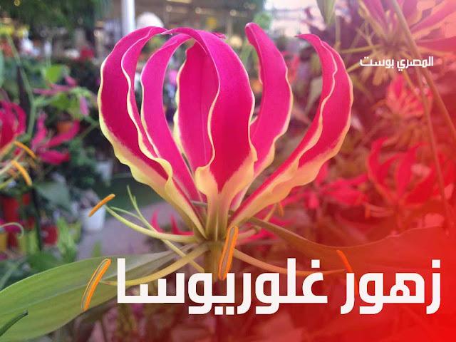 زهور غلوريوسا - صور ورد - صور زهور