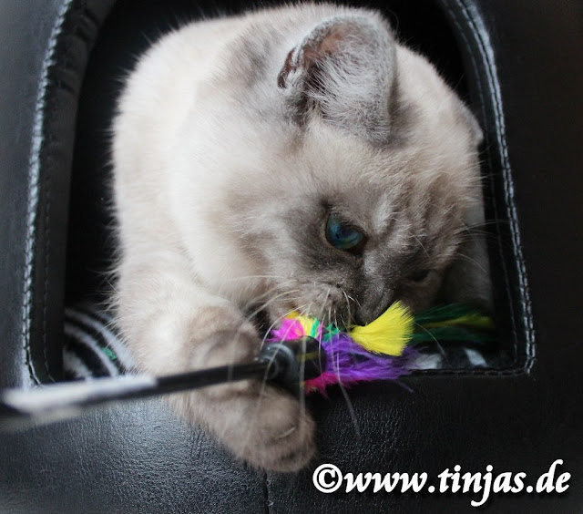 Britisch Kurzhaar Katzenbaby azs seriöser Zucht abzugeben