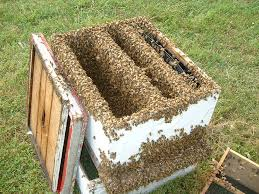 bees in the modern hive