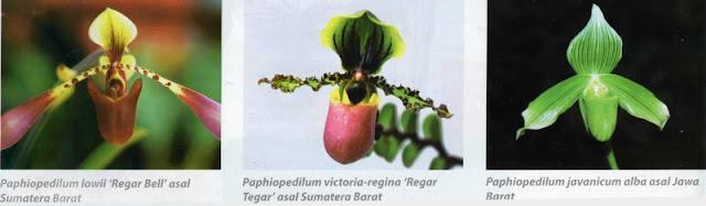Paphiopedilum violascens 'Regar Subur' asal Papua