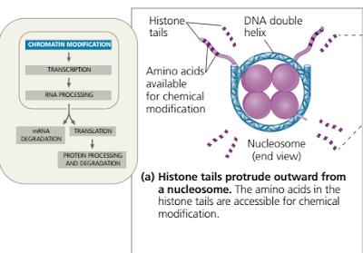 ujung histon yang seringkali ditempeli gugus kimia, Tahapan packing DNA hingga membentuk Kromatin / kromosom protein histon, nuklrosom, kromatid, kromatin, ujung histon, ujung histon yang seringkali ditempeli gugus kimia, inisiasi transkripsi dari ekukariotik, transcription factor, enhancer, intron splicing pada gen troponin, Regulasi ekspresi gen eukariotik pada post-transkripsi, inisiasi translasi mRNA,  protein siklin (cyclin),