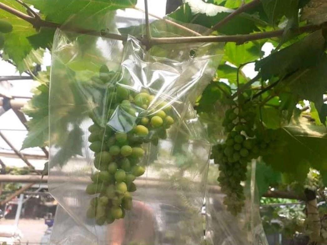 Bibit Anggur import jenis Jupiter genjah Tangerang Selatan