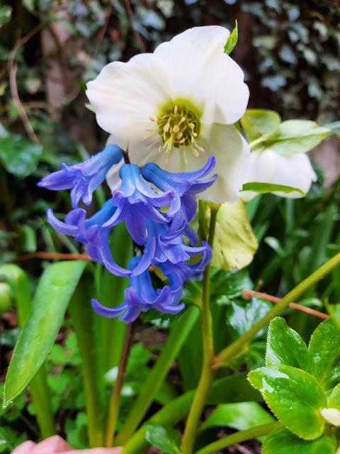 A bluebell flower head against a white Hellebore flower