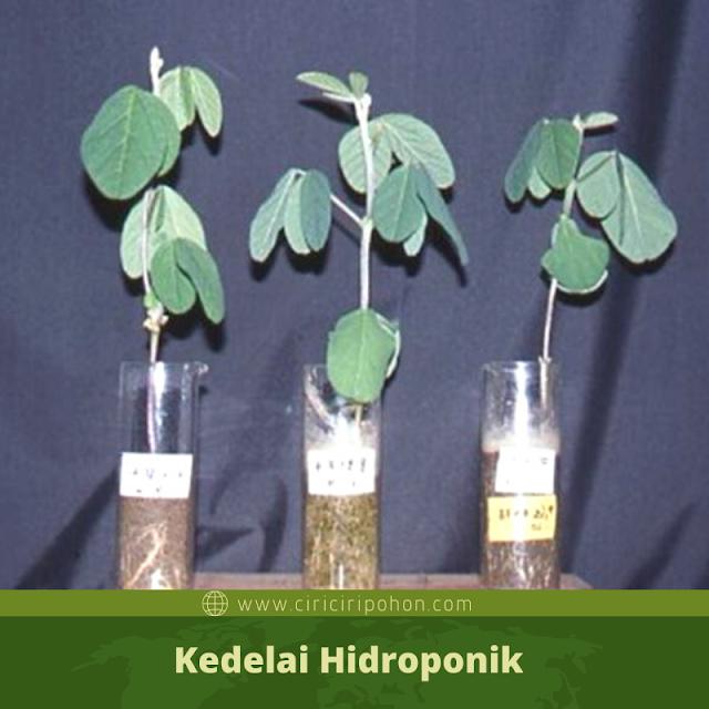 Ciri Ciri Pohon Kedelai Hidroponik