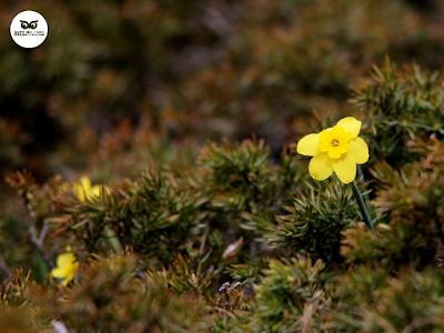 Narciso de roca (Narcissus rupestris)