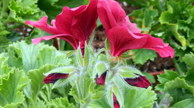Pelargonium grandiflorum 'Velvet Red'