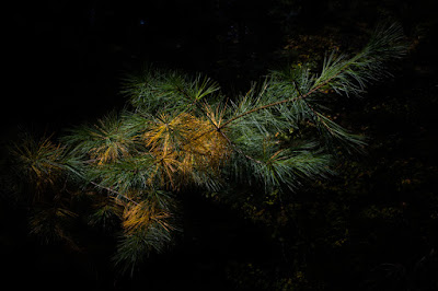 A pine branch containing a few sections of golden, among mostly green needles