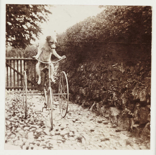 Dog riding a trycicle, photographer unknown. National Media Museum