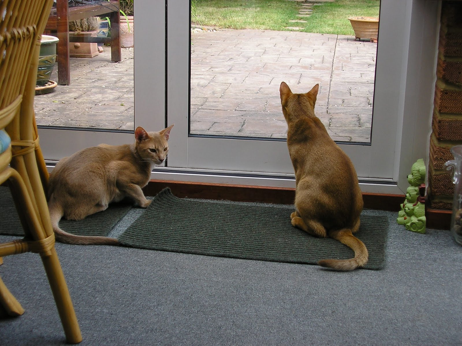 Four Abyssinian Cats The Cat Sat