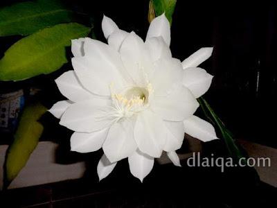 Wijaya Kusuma (Epiphyllum oxypetalum)