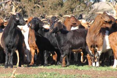 goat farming business plan, goat farming business plan for beginners, beginners guide for goat farming business