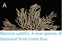https://sciencythoughts.blogspot.com/2017/02/muricea-subtilis-new-species-of.html