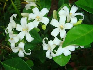 Kemuning (Murraya PaniculataJack) untuk Kolesterol, RTH, Rumah Terapi Herbal
