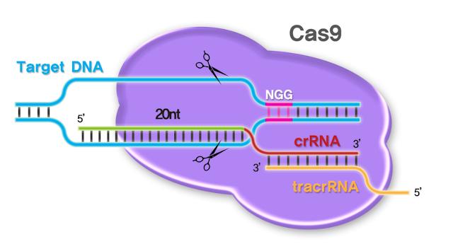 Akankah Gunting Molekuler Bisa Menyembuhkan Kanker?