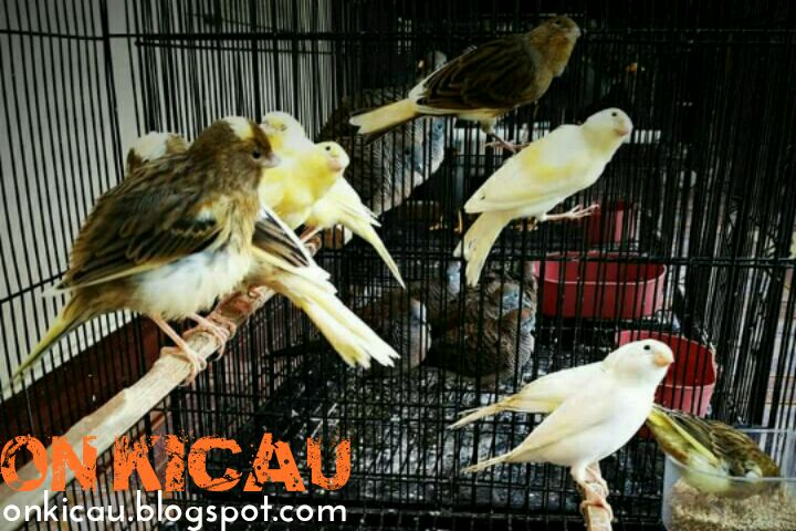 Cara Merawat Burung Kenari Muda Agar Cepat Bunyi Ngeplong Dan Ngeroll On Kicau