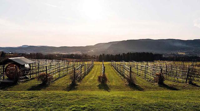Lerkekasa, na Noruega, foi o vinhedo mais ao norte da Europa. Agora ficou atrás de uma dúzia de outros