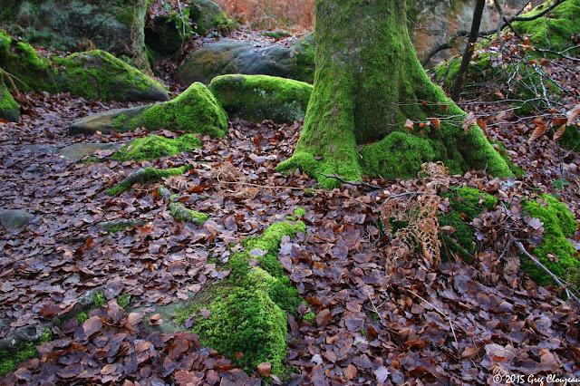 Racines moussues de hêtre sur grès de Fontainebleau, Mont Ussy, (C) 2015 Greg Clouzeau