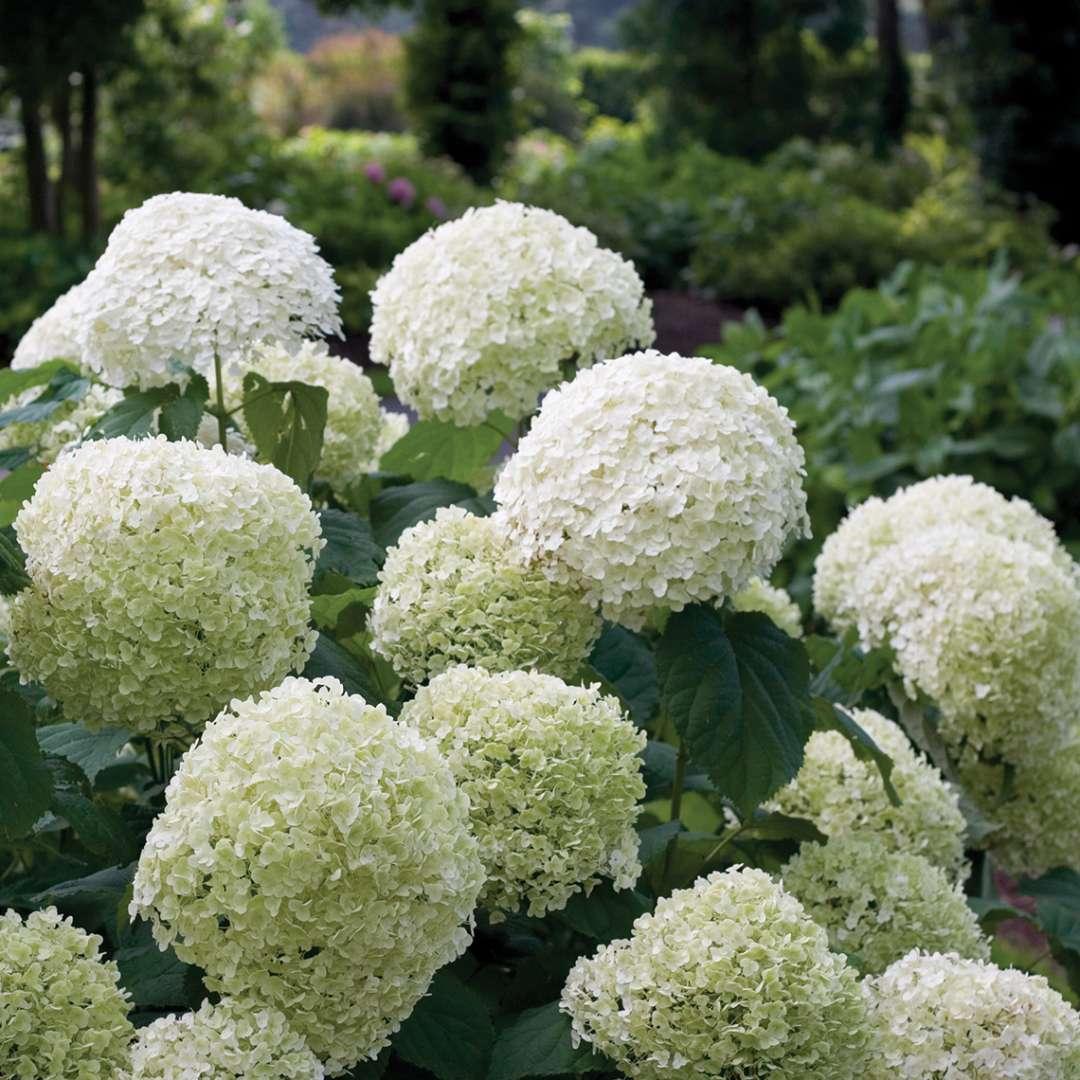 Hortensias con flores redondas blancas como bolas de nieve