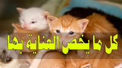 كيفية العناية بالقطط الصغيرة (اليتيمة والمتخلى عليها)