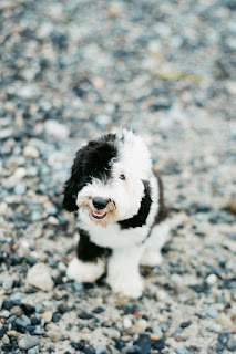 Micro Sheepadoodle Growth