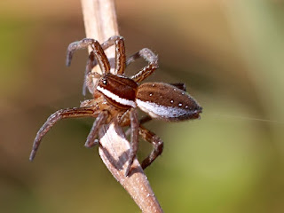 Six Spotted Fishing Spider
