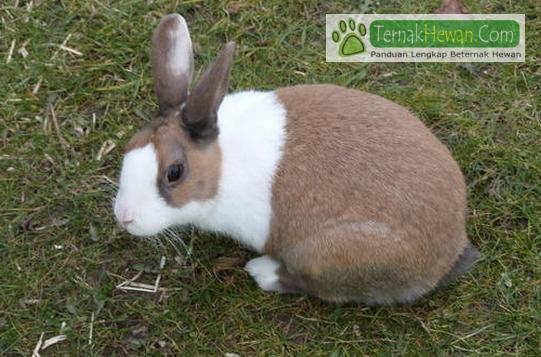 Australian dutch rebbit - Daftar Harga dan Perawatan Kelinci Australia Yang Baik Dan Benar