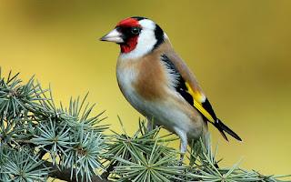 خلفية طائر الحسون في الطبيعة