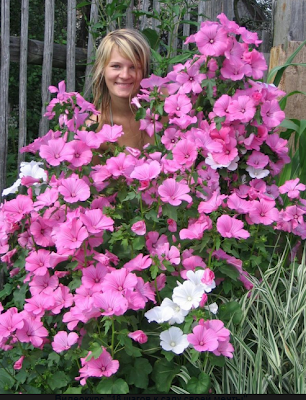 лаватера-розовая-белая