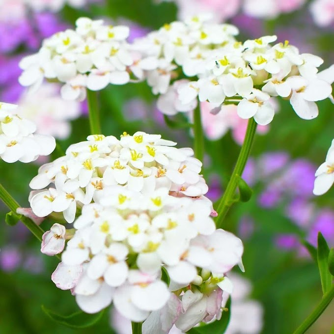Candytuft (100 Seeds)