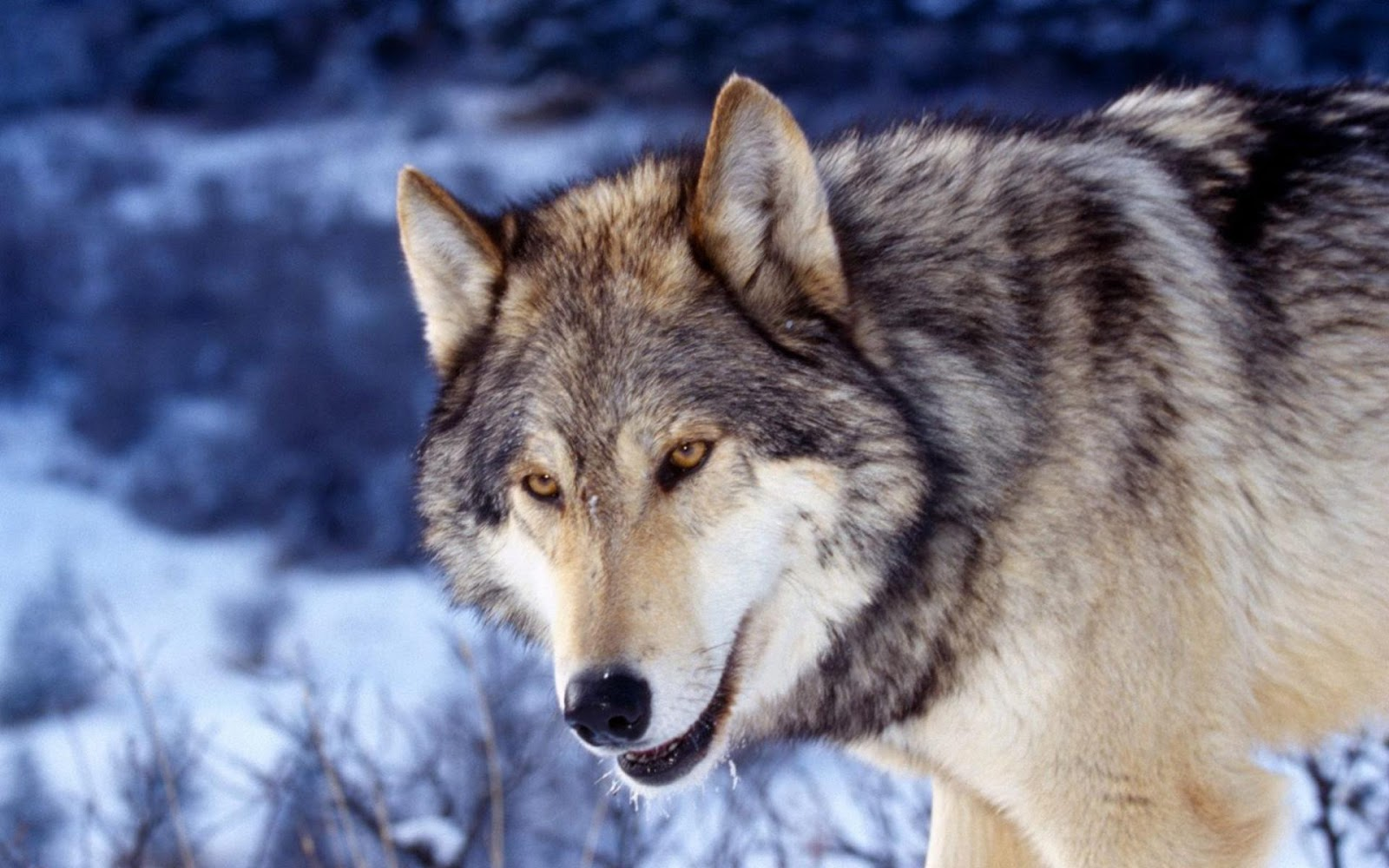 HD Wolf Photos HD Wallpapers - HD Animal Wallpapers
