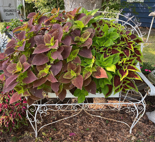 Photo of 3 colorful coleus plants in August.