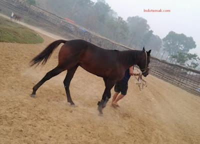 Pemberian Pakan Ternak Kuda Yang Baik Dan Benar