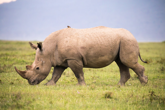 Rinoceronte blanco en Nakuru