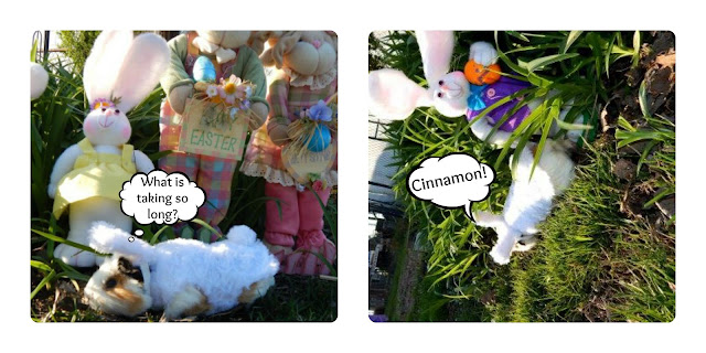 Cookie is looking for Cinnamon the #easter, #GuineaPig- Carmapoodale.com