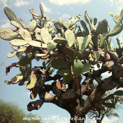 12 Amazing Health Benefits Of Nopal Cactus And How To Cook It - Image Shows A Nopal Plant Growing In A Dry, Rocky Environment