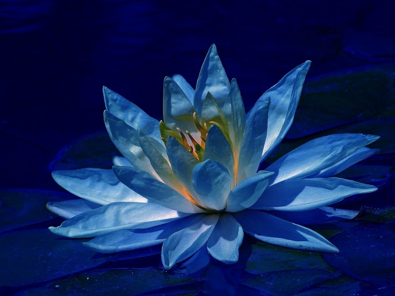 Images Lotus Flower Hd Desktop Wallpapers Fondos De Pantalla